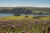 Thistle meadow, Fetlar, Shetland Allan Wright/Scottish Viewpoint uk,u.k,Great Britain,GB,G.B,Scotland,Scottish,nobody,daytime,outdoors,gentle,lyrical,peaceful,pretty,romantic,summer,sunny,sweet,tranquil,purple,green,fields,headland,cliff,sea,thistle,fetlar,coast,co