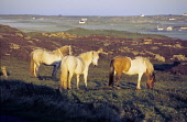 ponies at sunrise, Tiree Allan Wright/Scottish Viewpoint uk,u.k,Great Britain,GB,G.B,Scotland,Scottish,nobody,daytime,outdoors,crofting,horses,ponies,highland pony,highland ponies,atmospheric,hebridean,peaceful,pretty,summer,calmac,tiree,hebrides,argyll,atl