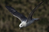 fulmar;fulmarus glacialis;in flight;caithness;scotland Mark Hicken /Scottish Viewpoint fulmar,fulmarus glacialis,flying,in flight,caithness,cliff,cliff ledge,scotland,scottish wildlife,seabird,british,bird,birds