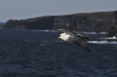 fulmar;fulmarus glacialis;in flight;caithness;scotland Mark Hicken /Scottish Viewpoint flying,fulmar,fulmarus glacialis,in flight,scotland,scottish wildlife,seabird,caithness,cliff,british,bird,heading out to sea,birds