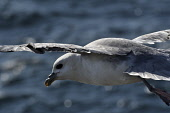fulmar;fulmarus glacialis;in flight;caithness;scotland Mark Hicken /Scottish Viewpoint flying,fulmar,fulmarus glacialis,in flight,scotland,scottish wildlife,seabird,caithness,heading out to sea,british,bird,birds