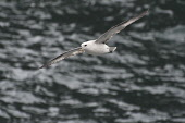 fulmar;fulmarus glacialis;in flight;caithness;scotland Mark Hicken /Scottish Viewpoint flying,fulmar,fulmarus glacialis,in flight,scotland,scottish wildlife,seabird,british,bird,caithness,birds