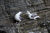 fulmar;fulmarus glacialis;cliff ledge;caithness;scotland Mark Hicken /Scottish Viewpoint fulmar,fulmarus glacialis,caithness,cliff,cliff ledge,pair,scotland,scottish wildlife,seabird,fulmars,british,bird,birds