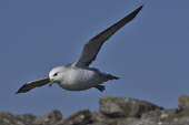 fulmar;fulmarus glacialis;in flight;caithness;scotland Mark Hicken /Scottish Viewpoint flying,fulmar,fulmarus glacialis,in flight,cliffs,coast,coastal,coastline,caithness,scotland,scottish wildlife,seabird,british,bird,birds
