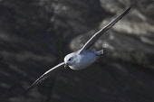 fulmar;fulmarus glacialis;in flight;caithness;scotland Mark Hicken /Scottish Viewpoint flying,fulmar,fulmarus glacialis,in flight,caithness,cliff,cliff ledge,british,bird,scotland,scottish wildlife,seabird,birds