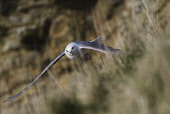 fulmar;fulmarus glacialis;in flight;caithness;scotland Mark Hicken /Scottish Viewpoint flying,fulmar,fulmarus glacialis,in flight,british,bird,caithness,cliff,cliff ledge,seabird,scottish wildlife,scotland,birds