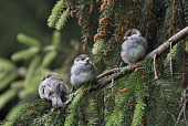 house sparrows;passer domesticus;juveniles;grantown on spey;cairngorms national park;scotland Mark Hicken /Scottish Viewpoint house sparrows,passer domesticus,babies,waiting,perching,perched,juveniles,tree,branch,scotland,cairngorms national park,highlands,birds,bird