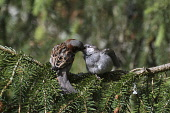 house sparrow feeding juvenile;passer domesticus;cairngorms national park;scotland Mark Hicken /Scottish Viewpoint highlands,house sparrows,house sparrow,passer domesticus,perched,perching,feeding,juvenile,adult male,cairngorms national park,scotland,birds,bird