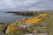 swiney coastline;caithness;scotland Mark Hicken /Scottish Viewpoint uk,u.k,Great Britain,GB,G.B,Scotland,Scottish,nobody,daytime,outdoors,swiney,burrigill,caithness,cliff,cliff ledge,cliffs,coastline,coast,colorful,colourful,yellow,rocks,sea,water