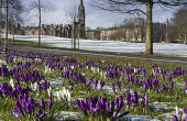 Crocuses in The Meadows, Edinburgh Allan Wright  /Scottish Viewpoint united kingdom,edinburgh,scotland,lothians,capital city of scotland,auld reekie,freezing,cold,snow,winter,bright,the meadows,marchmont,crocuses,crocus,purple,colourful,park,city,garden,enchanting,chee