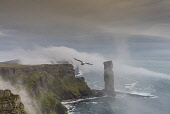 Cliffs by Old man of Hoy, orkney Allan Wright /Scottish Viewpoint hoy,orkney,scotland,scottish,coast,coastal,coastline,water,sea,island,islands,isle,isles,cliff,cliffs,seabirds,bird,birds,old,man,stack