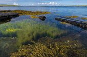 Pristine inshore habitat with Kelp on Rousay, Orkney Allan Wright /Scottish Viewpoint Rousay,SEAWATER,bright sunshine,coast,egilsay,habitat kelp,inshore,lagoon clear,orkney,pristine,pure,scotland,scottish,shore,coastal,coastline,water,sea,island,islands,isle,isles