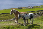 Beautiful ponies in summer pasture on Rousay, Orkney Allan Wright /Scottish Viewpoint Rousay,bright sunshine,coast,crofting,farming,horses,orkney,ponies,scotland,scottish,horse,pony,coastal,coastline,water,sea,island,islands,isle,isles