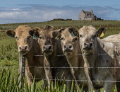 Curious Cattle orkney Allan Wright /Scottish Viewpoint bullocks,cows cattle,curious,orkney,scotland,scottish,steers,agriculture,livestock,animal,animals,graze,grazing,farm,farms,farming,countryside