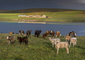 farmland and cattle, south ronaldsay, Orkney Allan Wright /Scottish Viewpoint cows,cattle,crofting,orkney,scotland,scottish,agriculture,livestock,animal,animals,graze,grazing,farm,farms,farming,countryside,island,islands,isle,isles,coast,coastal,coastline,water,sea