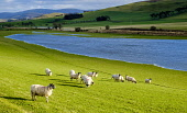 Srotm Ciara causes wide spread flooding across agricultural land in the Scottish Borders Andrew Wilson /Scottish Viewpoint Flood,Flooding,Scotland,Storm Ciara,heavy rain,weather,weather picture,Scottish Borders,winter landscape,flooded fields,sheep,farming