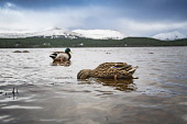 Cairngorm Mountain   A view across the loch to mountains and ducks Gillian Frampton/HIE 2020,Mountain,cairngorm,HIE2,winter,cairngorms,mountains,hill,hills,national,park,landscape,ducks,duck