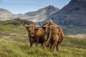 highland cattle on Isle of Rum Allan Wright  /Scottish Viewpoint highland,cows,cattle,cow
