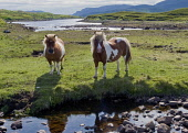 Shetland Ponies Allan Wright  /Scottish Viewpoint horses,ponies,shetland ponies,bright,blue sky,hebridean,high pressure,peaceful,summer,sunny,colourful,blue,yellow,lewis,western isles,river,burn,stream,sea,fields,bay,outer hebrides,piebold,pony