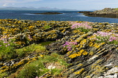 Pinks on shore,Isle of  Gigha and Goose nest, Inner Hebrides Allan Wright  /Scottish Viewpoint hebridean,bright,blue sky,peaceful,restful,summer,sunny,tranquil,colourful,scotland,coast,coastal,coastline,water,sea,island,islands,isle,isles,nobody