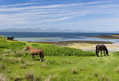 Shoreline horse grazing,Isle of  Gigha, Inner Hebrides Allan Wright  /Scottish Viewpoint horses,ponies,blue sky,bright,hebridean,high pressure,peaceful,restful,summer,sunny,tranquil,aqumarine,colourful,scotland,beach,beaches,sand,sandy,coast,coastal,coastline,water,sea,island,islands,isle