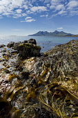 kelp on foreshore at Laig bay, Isle of Eigg with a view to Isle of Rum, Inner Hebrides Allan Wright  /Scottish Viewpoint uk,u.k,Great Britain,GB,G.B,Scotland,Scottish,nobody,daytime,outdoors,tranquil,bright,sunny,colourful,island,eigg,small isles,west coast,lochaber,warm,orange,amber,seaweed,kelp,bladderwrack,shore,sea,