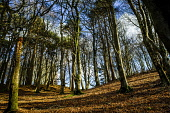 Deciduous woodland in the Scottish Borders in winter. Andrew Wilson /Scottish Viewpoint carpet of leaves,deciduous,deciduous wood,plants,sunny,sunshine,tall trees,trees,weather,winter,without leaves,woodland,tree,woods,wood