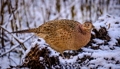 Female pheasant (Phasianus colchicus) in snow, South Lanarkshire, Scotland Andrew Wilson /Scottish Viewpoint Farmland,February,Game,Phasianus colchicus,Portrait,Scotland,beak,chestnut,close up,close-up,cold,colorful,colourful,family Phasianidae,feathers,female,game bird,golden,golden brown,golden-brown,grass
