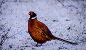 Male pheasant (Phasianus colchicus) in snow, South Lanarkshire, Scotland Andrew Wilson /Scottish Viewpoint Farmland,February,Game,Phasianus colchicus,Portrait,Scotland,beak,chestnut,close up,close-up,cold,colorful,colourful,family Phasianidae,feathers,game bird,golden,golden brown,golden-brown,grassland,ha