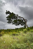 Windswept tree Bill McKenzie/Scottish Viewpoint tree,trees,wood,woodland,woods,forests,forest,bent,over,wind