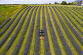 Aerial images of rows of lavender growing at Tarhill Farm near Kinross. The farm is home to the Scottish Lavender Oil company, Kinross, Scotland, UK Iain Masterton /Scottish Viewpoint Scotland,scottish,lavender farm,kinross,farming,uk,united kingdom,flower field,field of lavender,rows of lavender,perth & kinross,Britain,British,scottish farming,lavender farm scotland,scottish laven