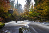 Autumn colours at their best beside River Braan at The Hermitage in Perthshire, Scotland, UK Iain Masterton /Scottish Viewpoint scotland,scottish,autumn,Dunkeld,The Hermitage scotland,Perthshire,perth and kinross,uk,United Kingdom,Britain,british,autumnal,colours,riiver braan,landscape,woodland,fall colors,scenic,scotland the